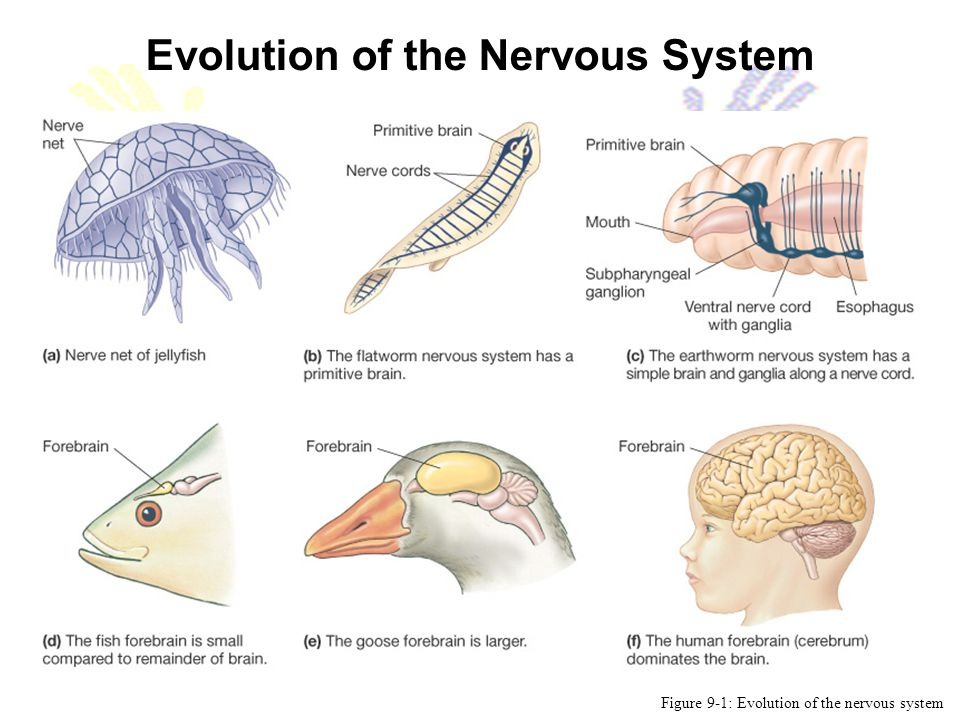 Evolution of the Nervous System