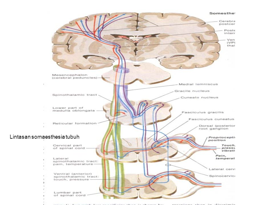 Lintasan somaesthesia tubuh