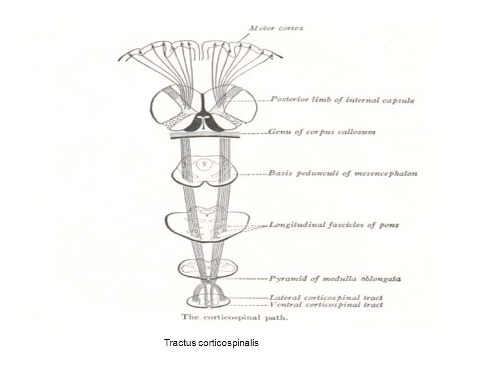 Tractus corticospinalis