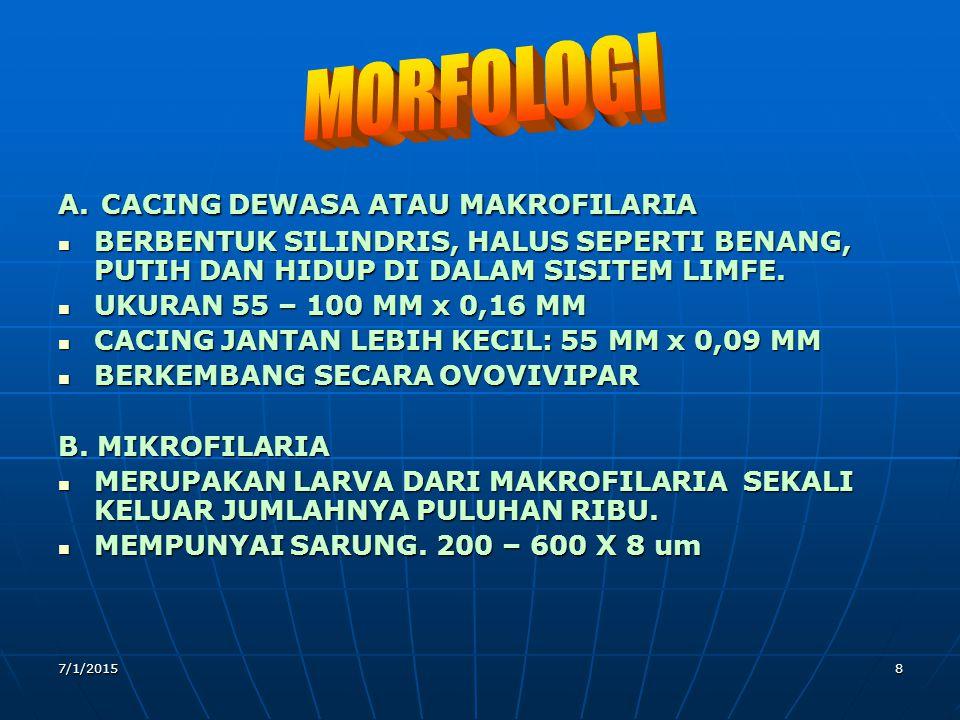MORFOLOGI A. CACING DEWASA ATAU MAKROFILARIA