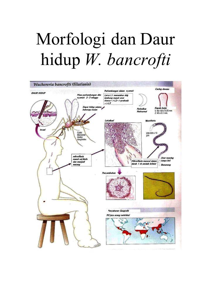 Morfologi dan Daur hidup W. bancrofti