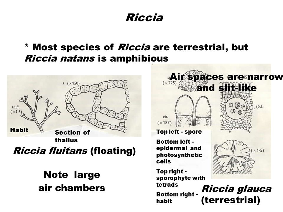 Riccia * Most species of Riccia are terrestrial, but Riccia natans is amphibious. Air spaces are narrow and slit-like.