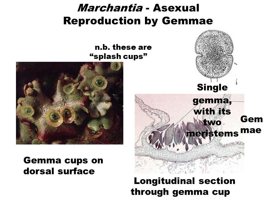 Marchantia - Asexual Reproduction by Gemmae