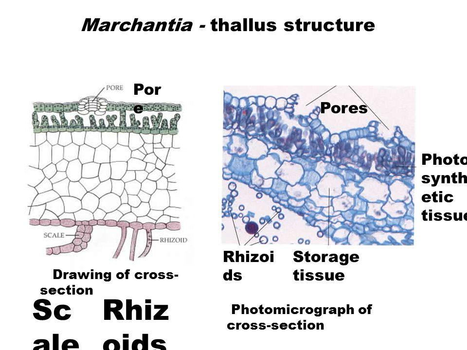 Marchantia - thallus structure