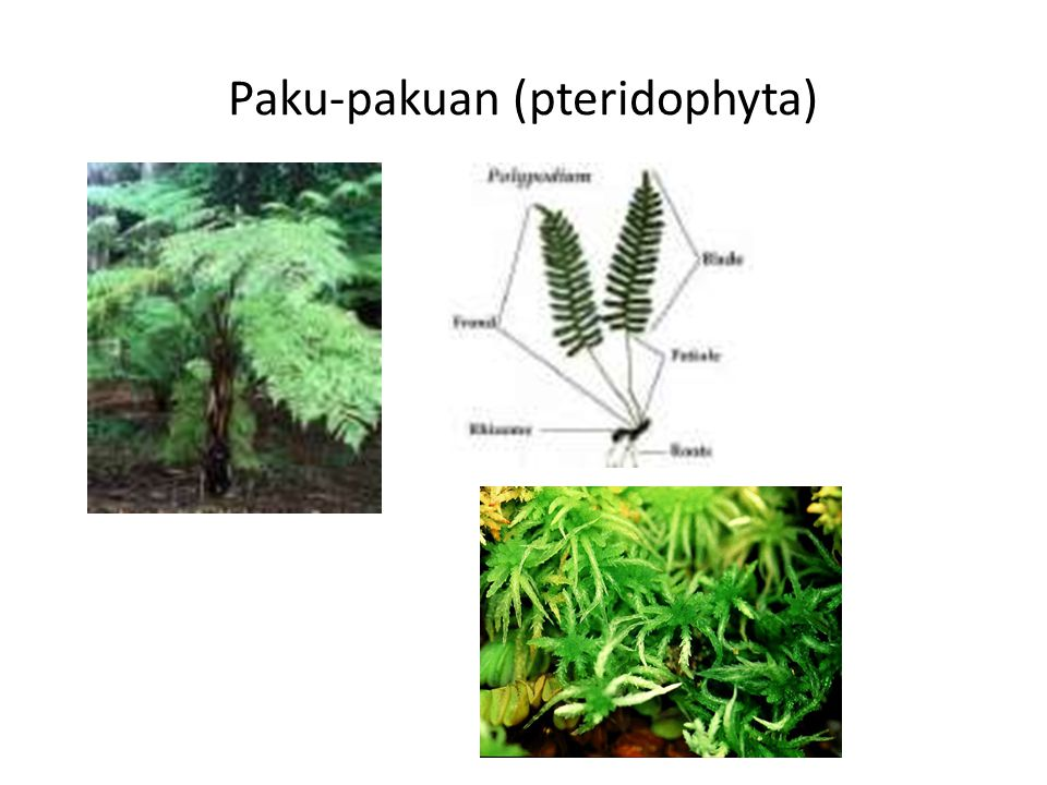 Paku-pakuan (pteridophyta)