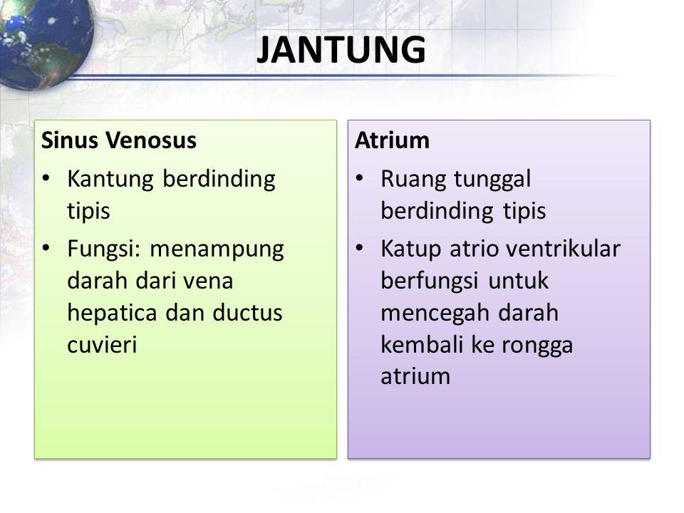 JANTUNG Sinus Venosus Kantung berdinding tipis