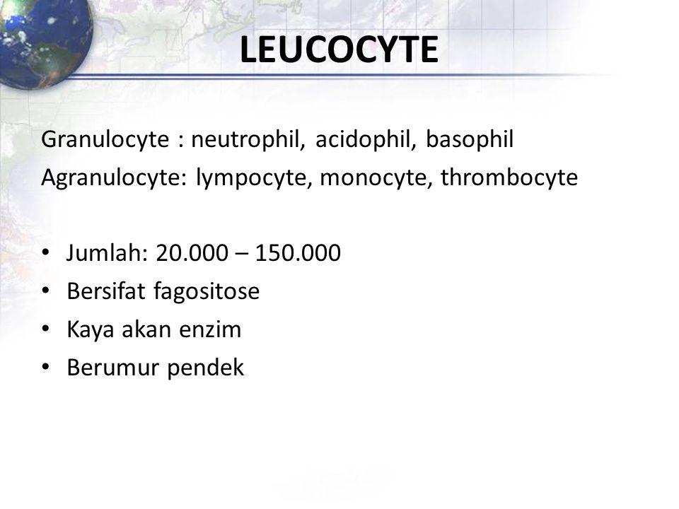 LEUCOCYTE Granulocyte : neutrophil, acidophil, basophil