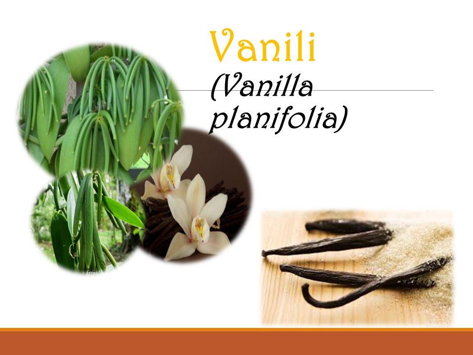 Vanili (Vanilla planifolia)