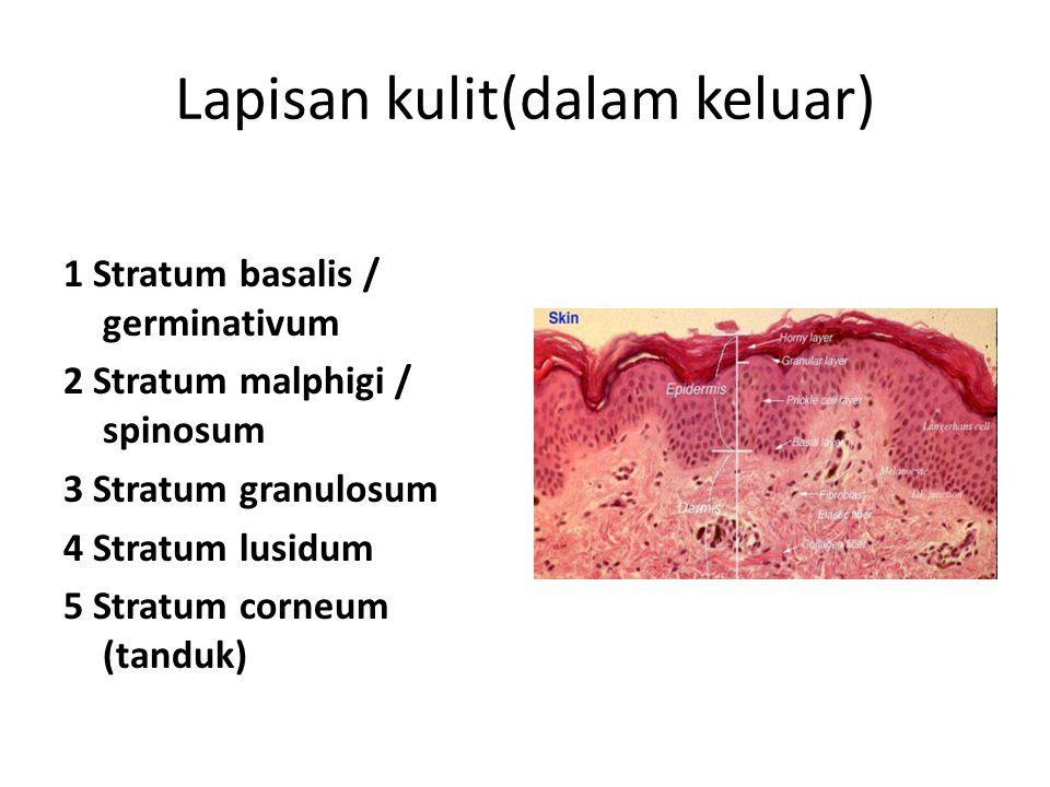 Lapisan kulit(dalam keluar)