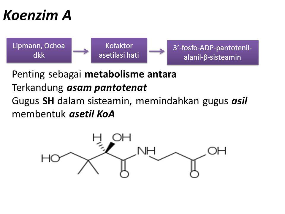 Koenzim A Penting sebagai metabolisme antara