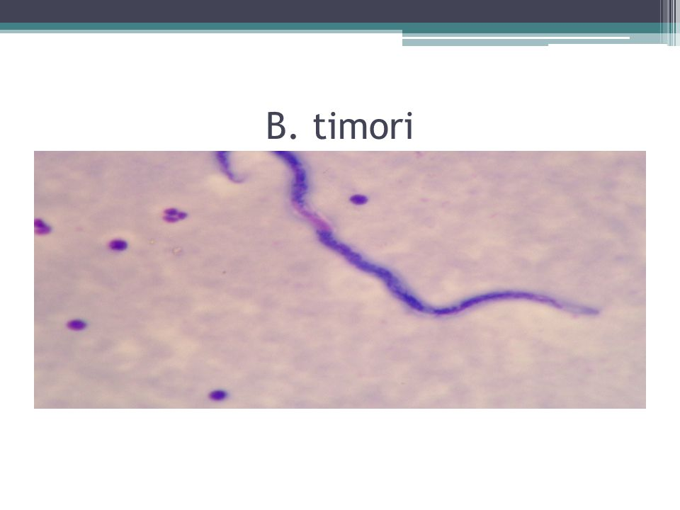 B. timori