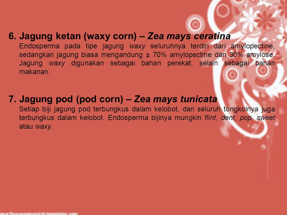Jagung ketan (waxy corn) – Zea mays ceratina