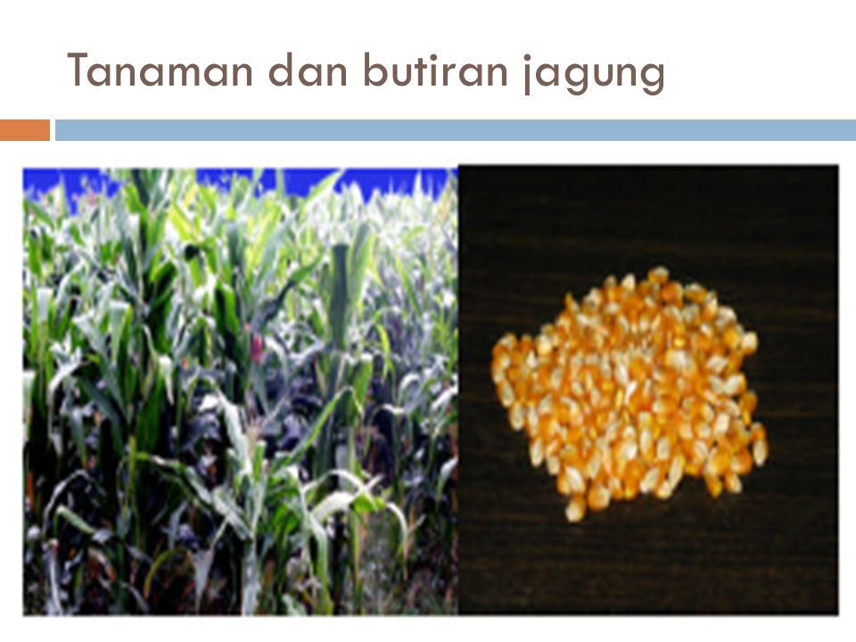 Tanaman dan butiran jagung