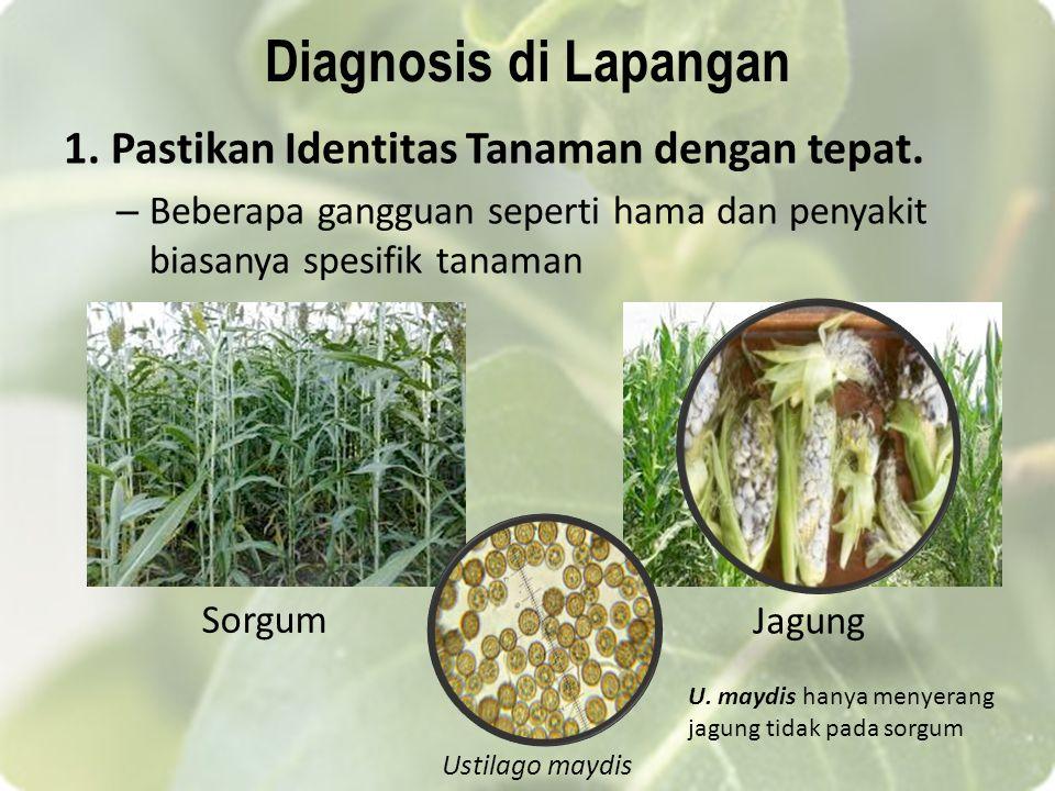 Diagnosis di Lapangan 1. Pastikan Identitas Tanaman dengan tepat.