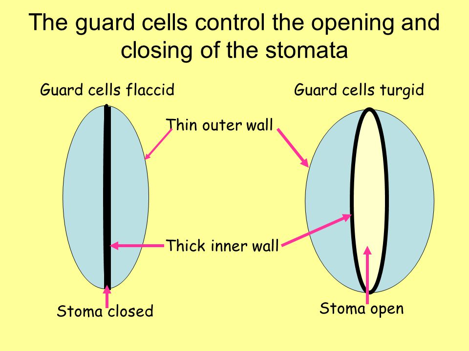 The guard cells control the opening and closing of the stomata