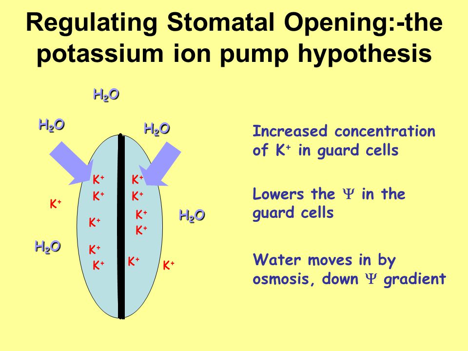 Regulating Stomatal Opening:-the potassium ion pump hypothesis