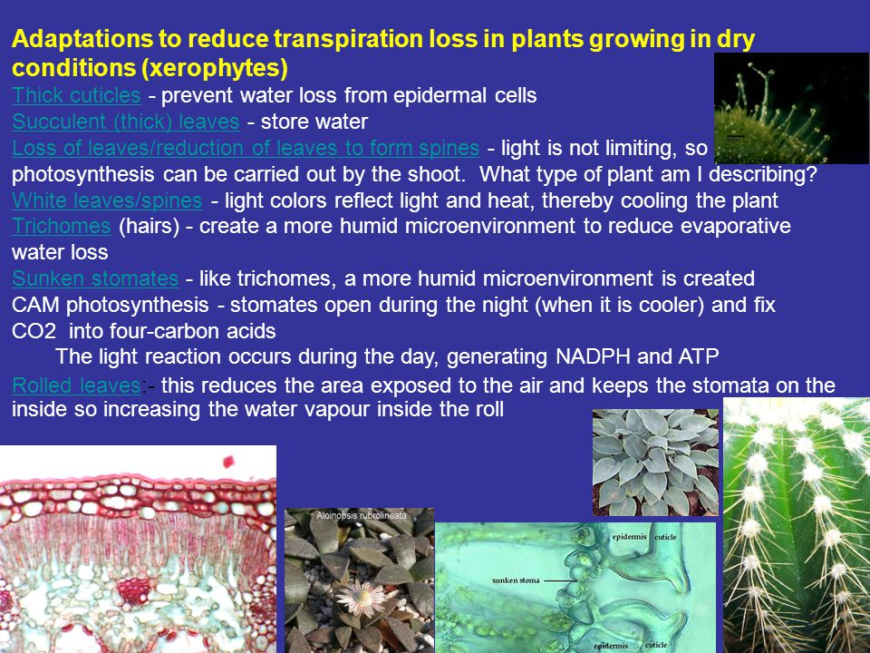 Adaptations to reduce transpiration loss in plants growing in dry conditions (xerophytes)
