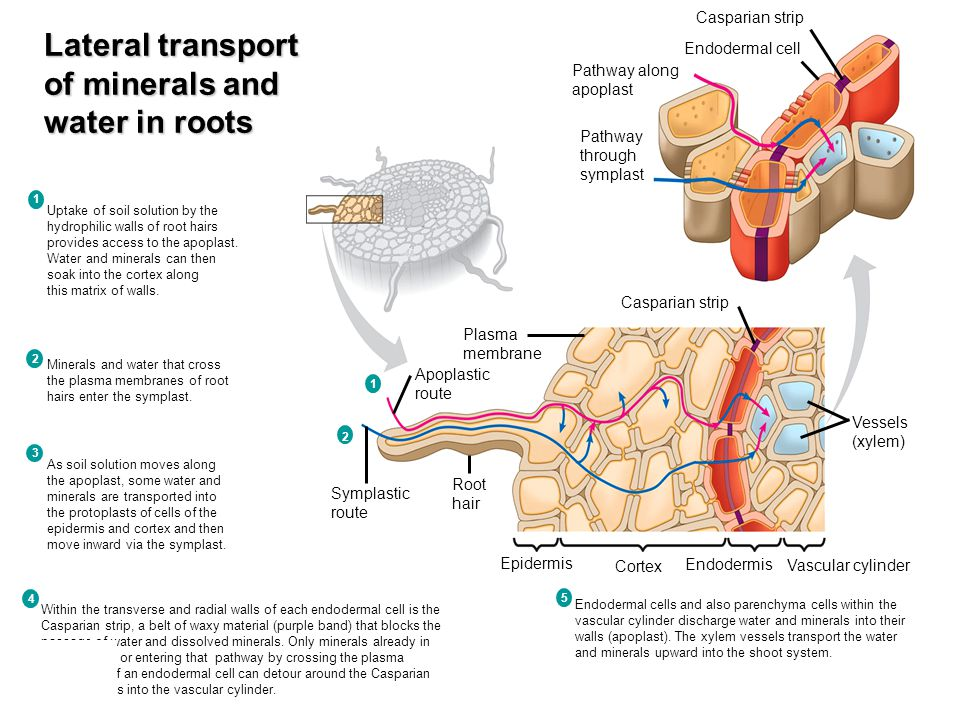 Lateral transport of minerals and water in roots