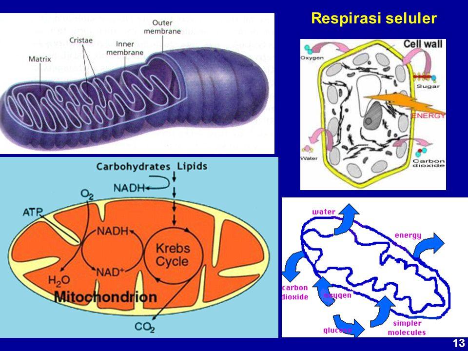 Respirasi seluler 13