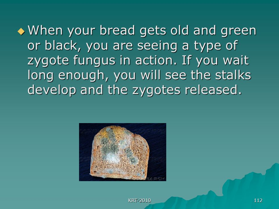 When your bread gets old and green or black, you are seeing a type of zygote fungus in action. If you wait long enough, you will see the stalks develop and the zygotes released.