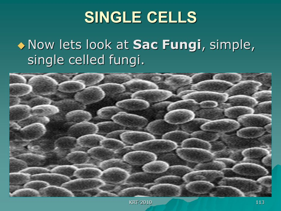SINGLE CELLS Now lets look at Sac Fungi, simple, single celled fungi.