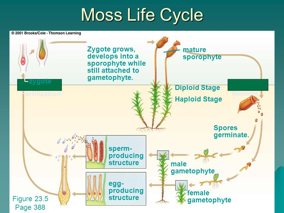 Moss Life Cycle Zygote grows, develops into a sporophyte while still attached to gametophyte. mature sporophyte.