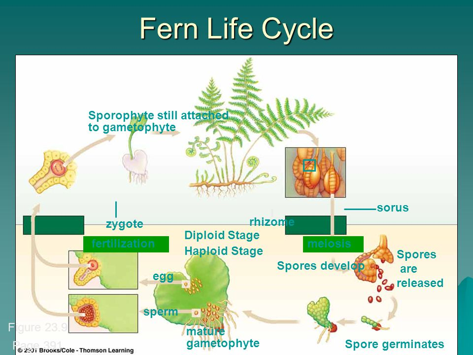 Fern Life Cycle Sporophyte still attached to gametophyte sorus zygote