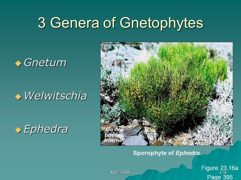3 Genera of Gnetophytes Gnetum Welwitschia Ephedra