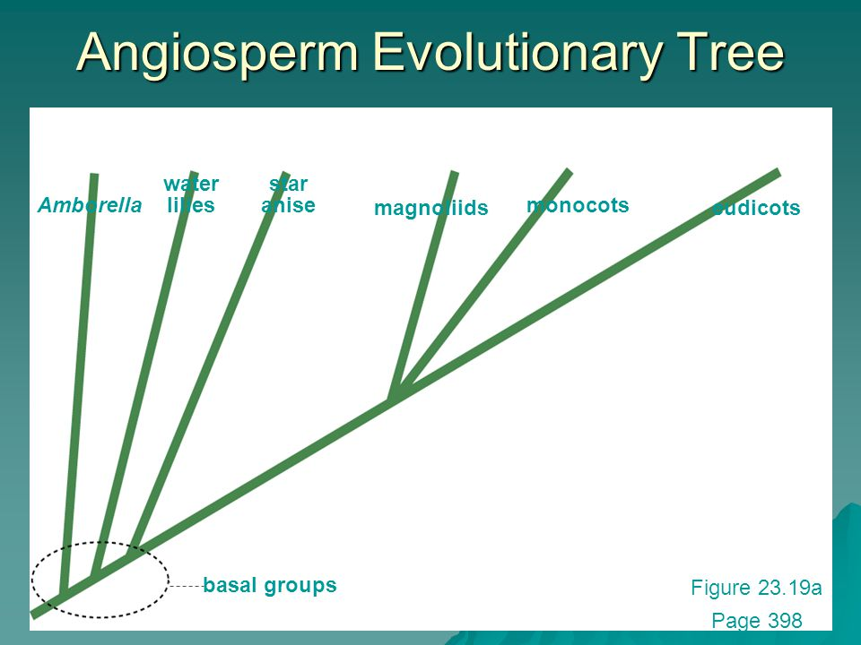 Angiosperm Evolutionary Tree