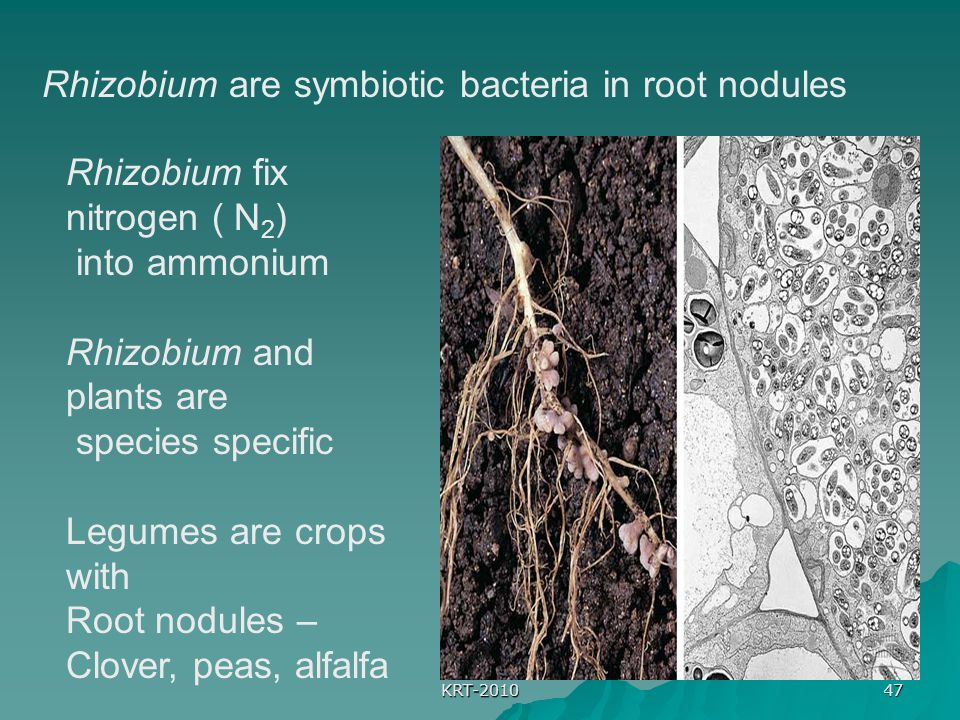 Rhizobium are symbiotic bacteria in root nodules