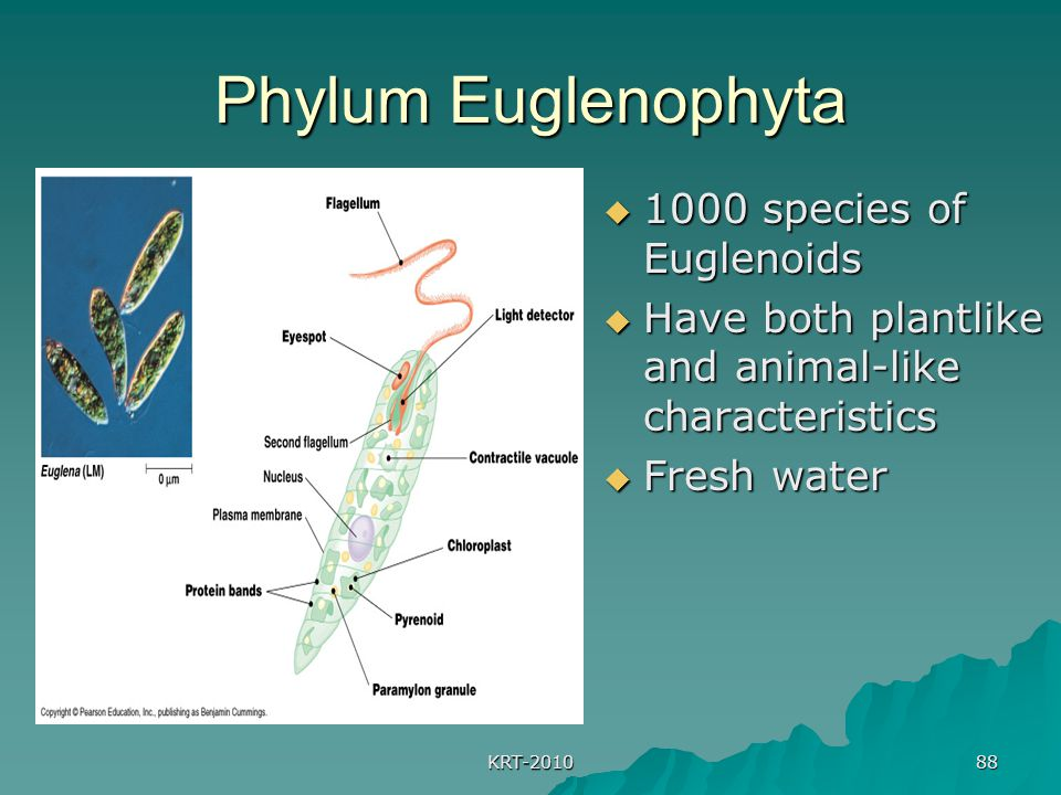 Phylum Euglenophyta 1000 species of Euglenoids