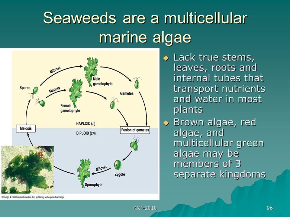 Seaweeds are a multicellular marine algae