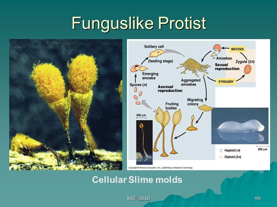 Funguslike Protist Cellular Slime molds KRT-2010
