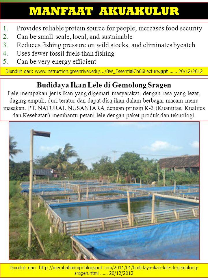 Budidaya Ikan Lele di Gemolong Sragen