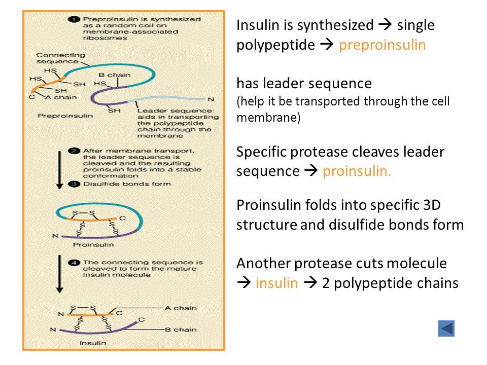 Insulin is synthesized  single polypeptide  preproinsulin