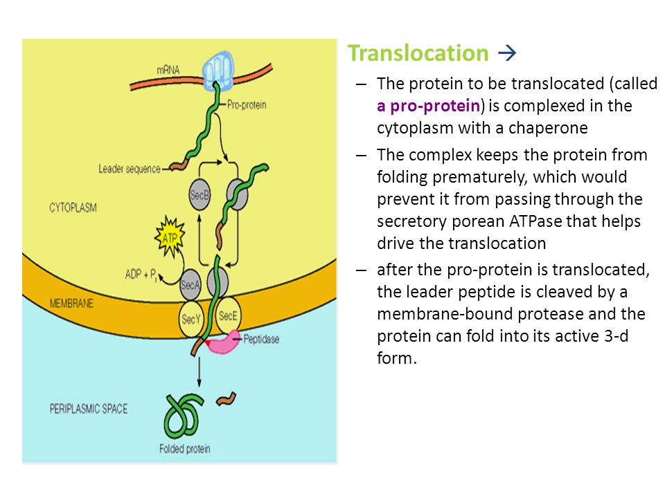 Translocation  The protein to be translocated (called a pro-protein) is complexed in the cytoplasm with a chaperone.
