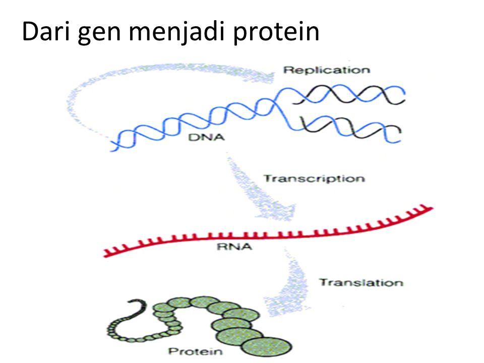 Dari gen menjadi protein