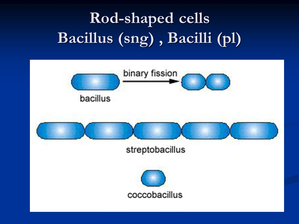 Rod-shaped cells Bacillus (sng) , Bacilli (pl)