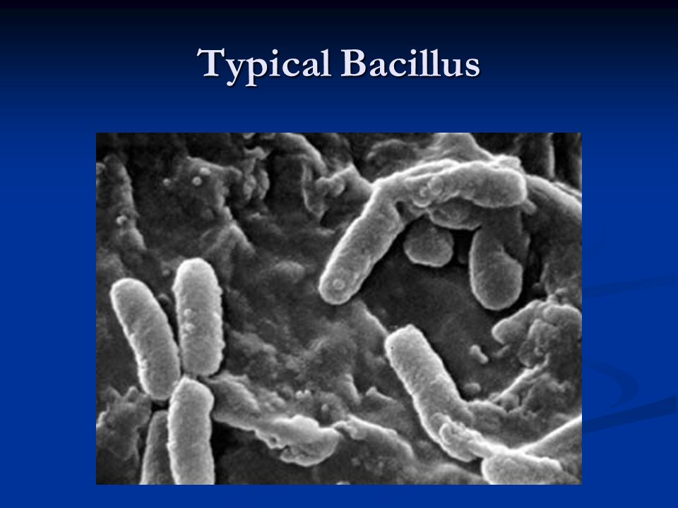 Typical Bacillus
