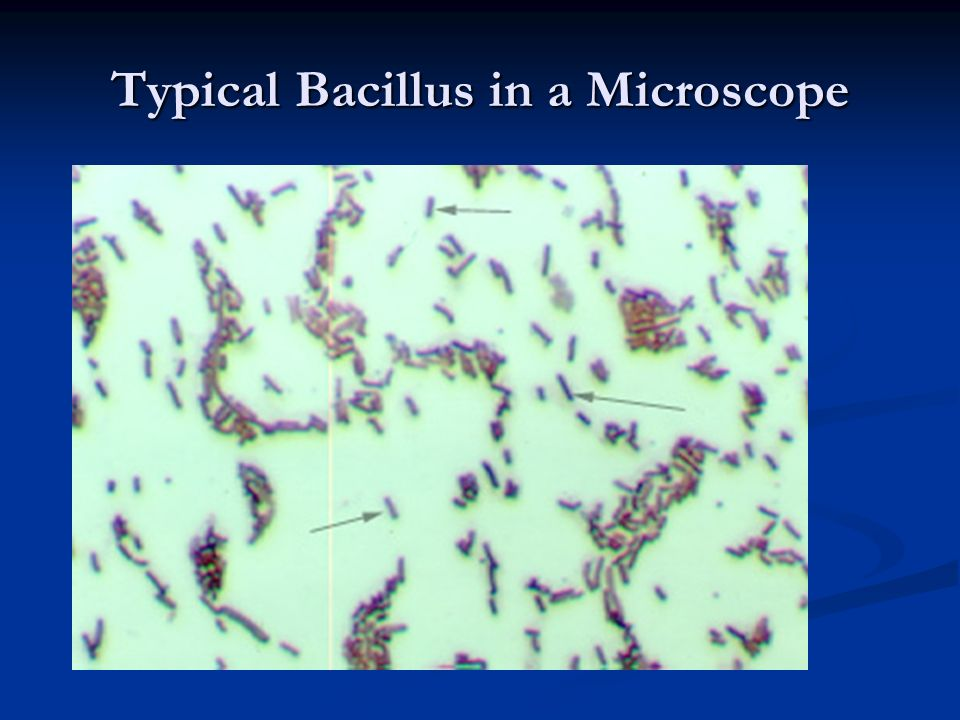 Typical Bacillus in a Microscope