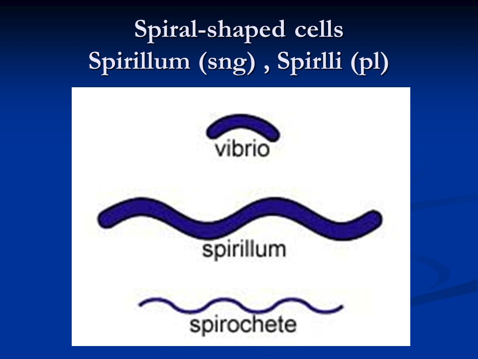 Spiral-shaped cells Spirillum (sng) , Spirlli (pl)