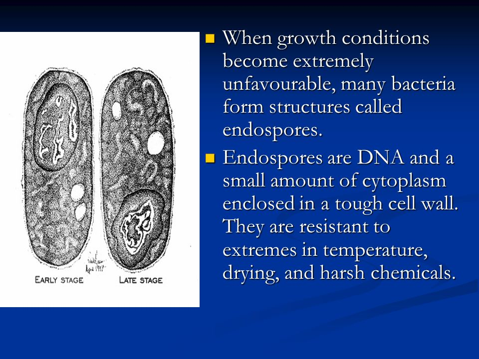 When growth conditions become extremely unfavourable, many bacteria form structures called endospores.