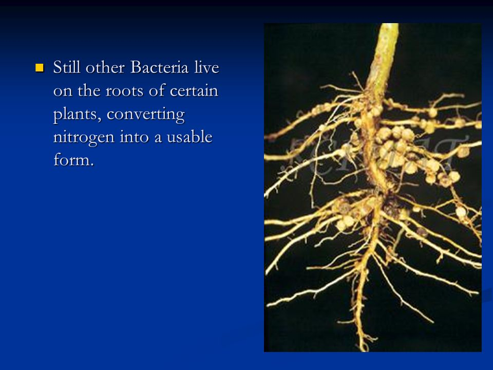 Still other Bacteria live on the roots of certain plants, converting nitrogen into a usable form.
