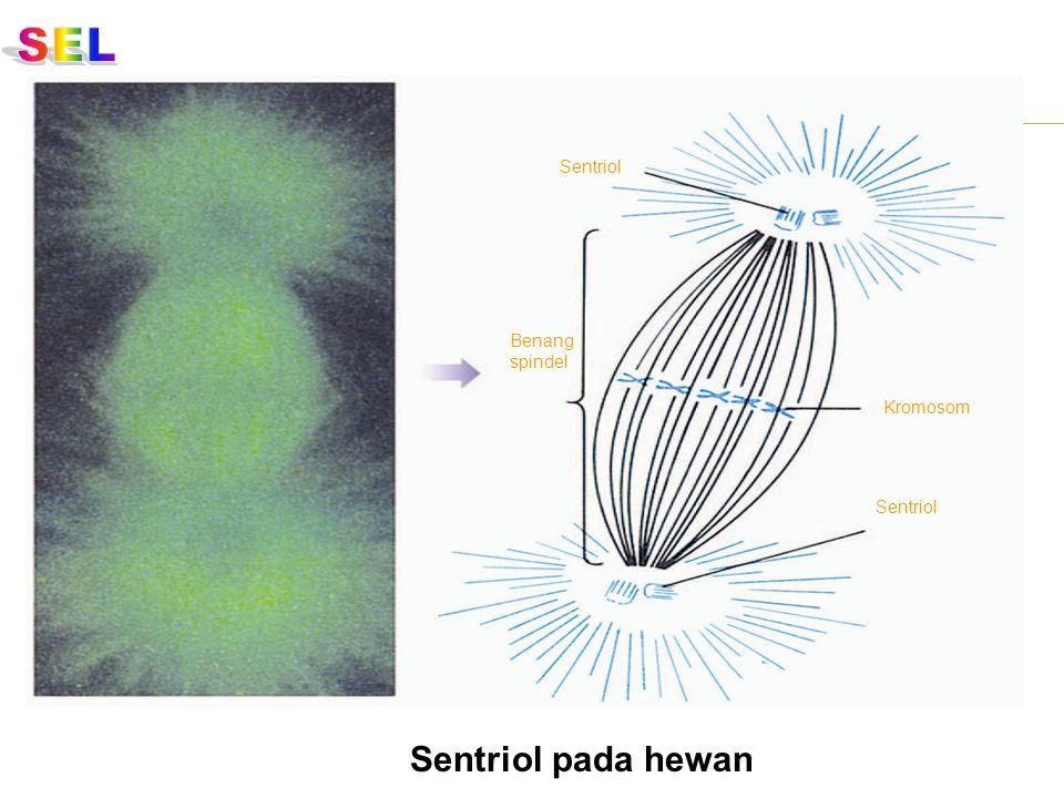 SEL Sentriol Benang spindel Kromosom Sentriol Sentriol pada hewan