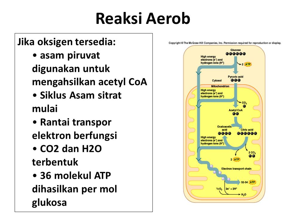 Reaksi Aerob Jika oksigen tersedia: