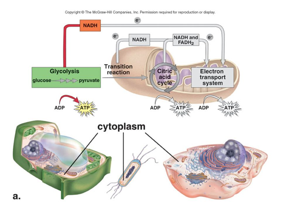 Glycolysis takes place in the cytoplasm of almost all cells.