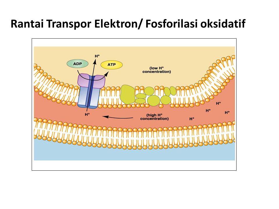 Rantai Transpor Elektron/ Fosforilasi oksidatif