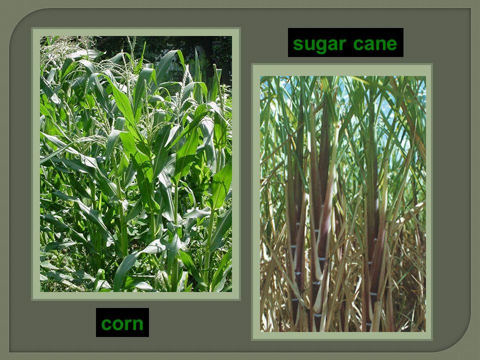 sugar cane corn