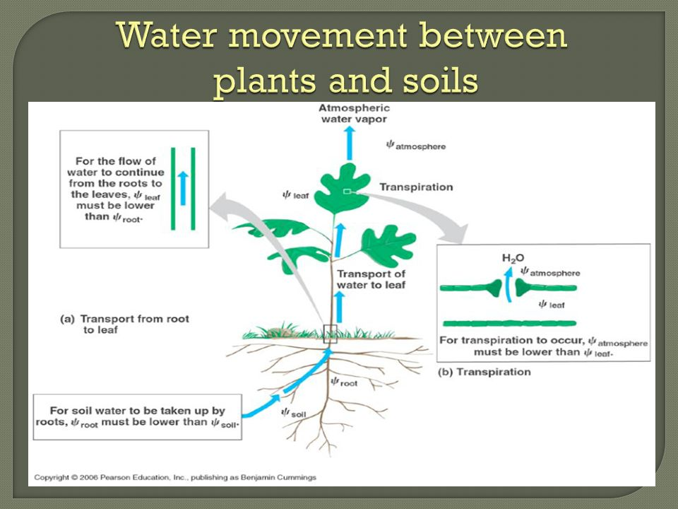 Water movement between plants and soils