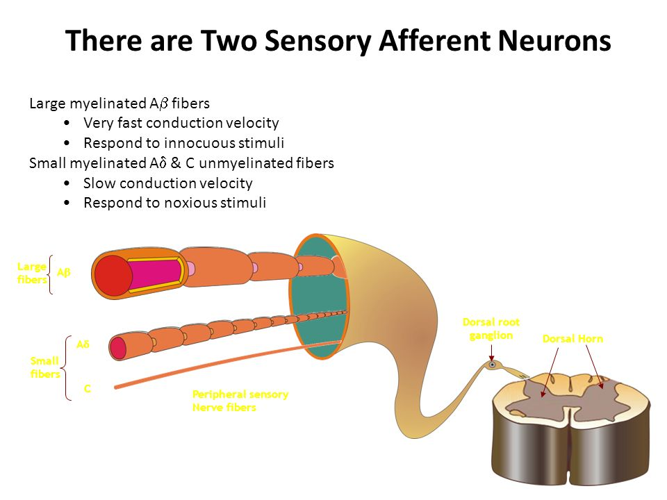 There are Two Sensory Afferent Neurons